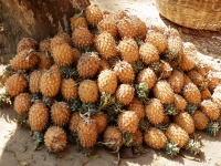 Pineapples grown by Khashia community
