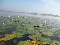 White water lilies at Baikker Beel