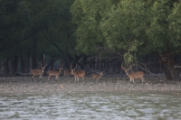 Deer at Sunderban