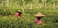 Women at work in the tea gardens, Sreemongol