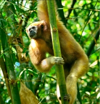 Hollock Gibbon at Lawachhara