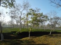 tea garden at Srimongol.